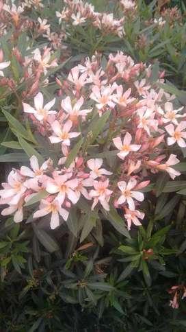 Semillas Planta Suche, Plumeria, Frangipani O Flor De Mayo