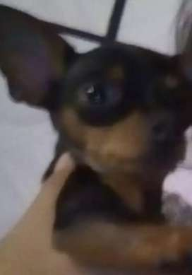 Perro pinché chihuahua busca novia.