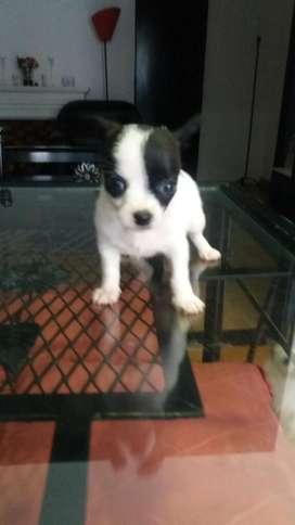 Los Chihuahuas de Wana Los Minis