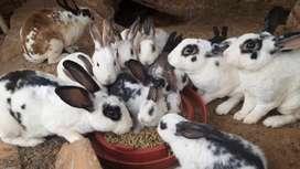 Vendo Conejos Rex