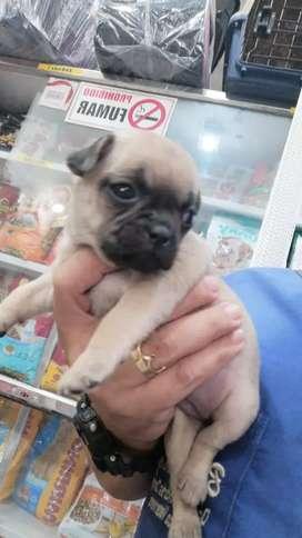 Vendo hermosa Pug