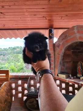 Pomerania Lulú  mini negro