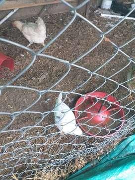 Gallinas pollos
