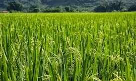 Terreno tecnificado para  arroz
