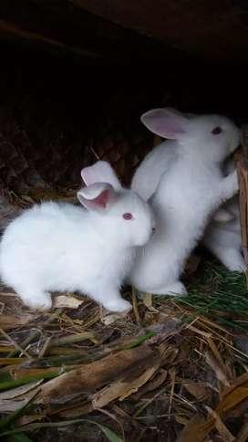 Conejos de raza Grande