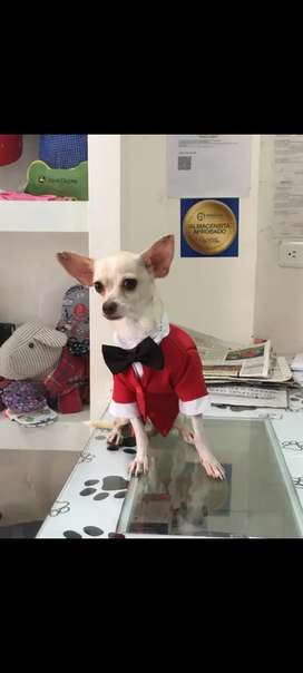 Tity perrito chihuahua raza pura busca novia