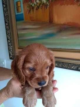Hermosos cachorros cocker spaniel medellin envios a todo el pais