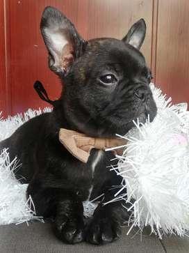 Hermoso Bulldog Francés Macho