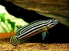 Pez ciclido tanganika julidochromis regani
