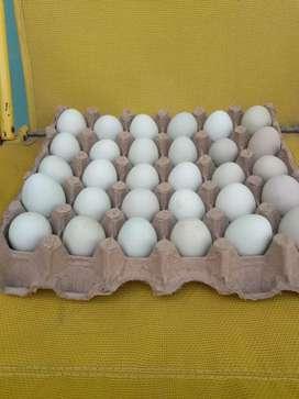 Huevos de colores verdes