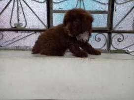 Poodle marron