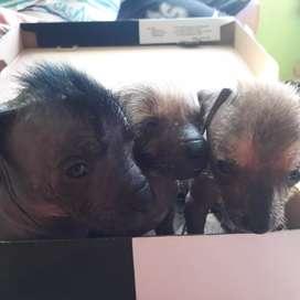Vendo lindos perros peruanos