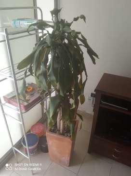 Matera grande con palo de agua o palmera brasilera en buen crecimiento.