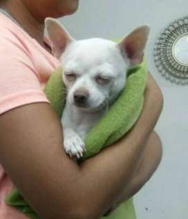Chihuahua albino - servicio de monta