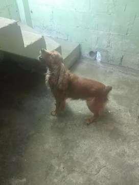 Se vende perro de 2 años