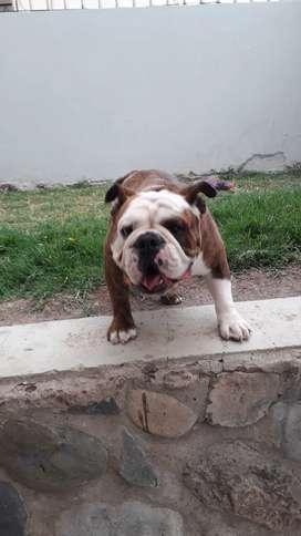 Bulldog Ingles para Montas disponible