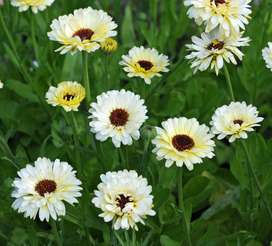 Calendula blanca Snow Princess semillas