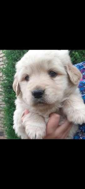 Cachorros golden disponibles. Se entregan a los 45 días.