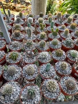 Cactus para jardín