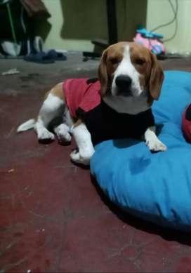 Perro beagle muy buena genética para monta