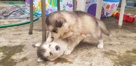 Cachorros Husky malamute