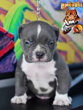 Macho american bully