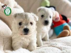 Westy cachorritos lindos en Pet Vital Peru