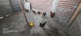 Se vende gallinas criollas