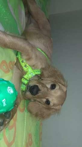Se da perrita en adopcion tienes 5 meses es coker con pug sana con vacunas