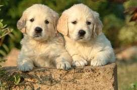 Golden retrevier , hermoso cachorro macho