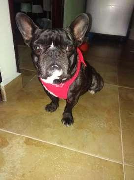 Hermoso Bulldog Francés con pedigri para Monta.