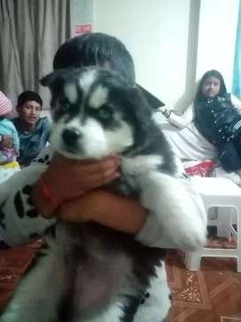 Disponibles cachorros HUSKY lobos siveriano hojos azules