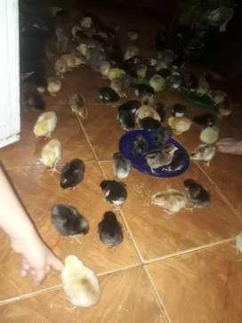 Pollitos y pollitas recien nacidos,huevos fertiles