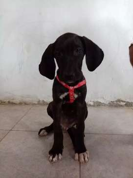 Se vende perro, Fila Brasileiro