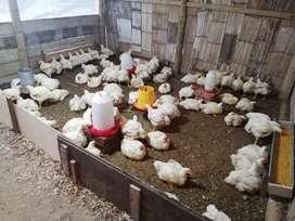 Venta de pollos entrega a domicilio, solo en portoviejo por la mañana