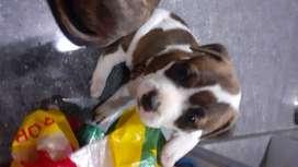 Vendo cachorros pitbull cruce con american bully