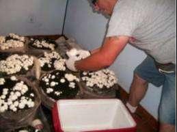 Cultiva champiñon en casa