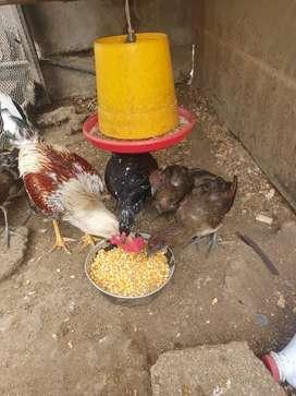 Vendo pollos