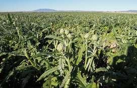 semillas de alcachofa planta