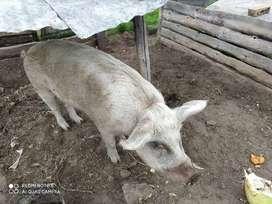 Cerdo grande