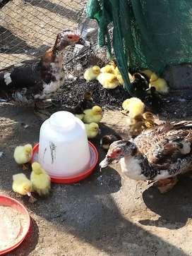 Patos bb de corral