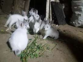 Conejos raza