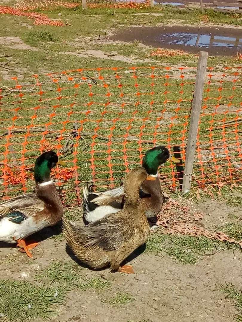 Patos Marruecos machos de 8 meses 0