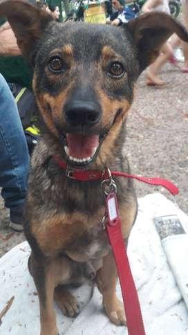Pitu, perro joven en adopción
