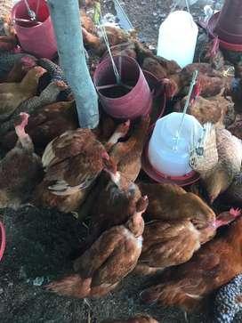 Venta de pollos criollos