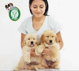 cachorros Golden.pitbull,bulldog,siberiano,doberman,pug,poodle,chihuahua,bullterrier,bulldog,mastin.samoyedoen Pet Vital