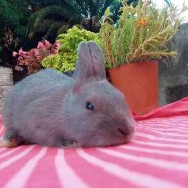 Conejos nestreland .Dwarf super pequeña 900g de adultez