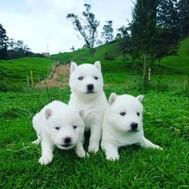 HUSKY SIBERIANO BLANCO DISPONIBLE