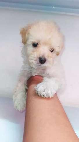 Mini poodle HEMBRA