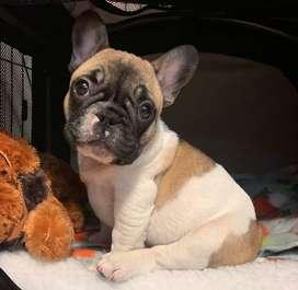 Hermosos Bulldog Frances Disponibles en VALLEDUPAR